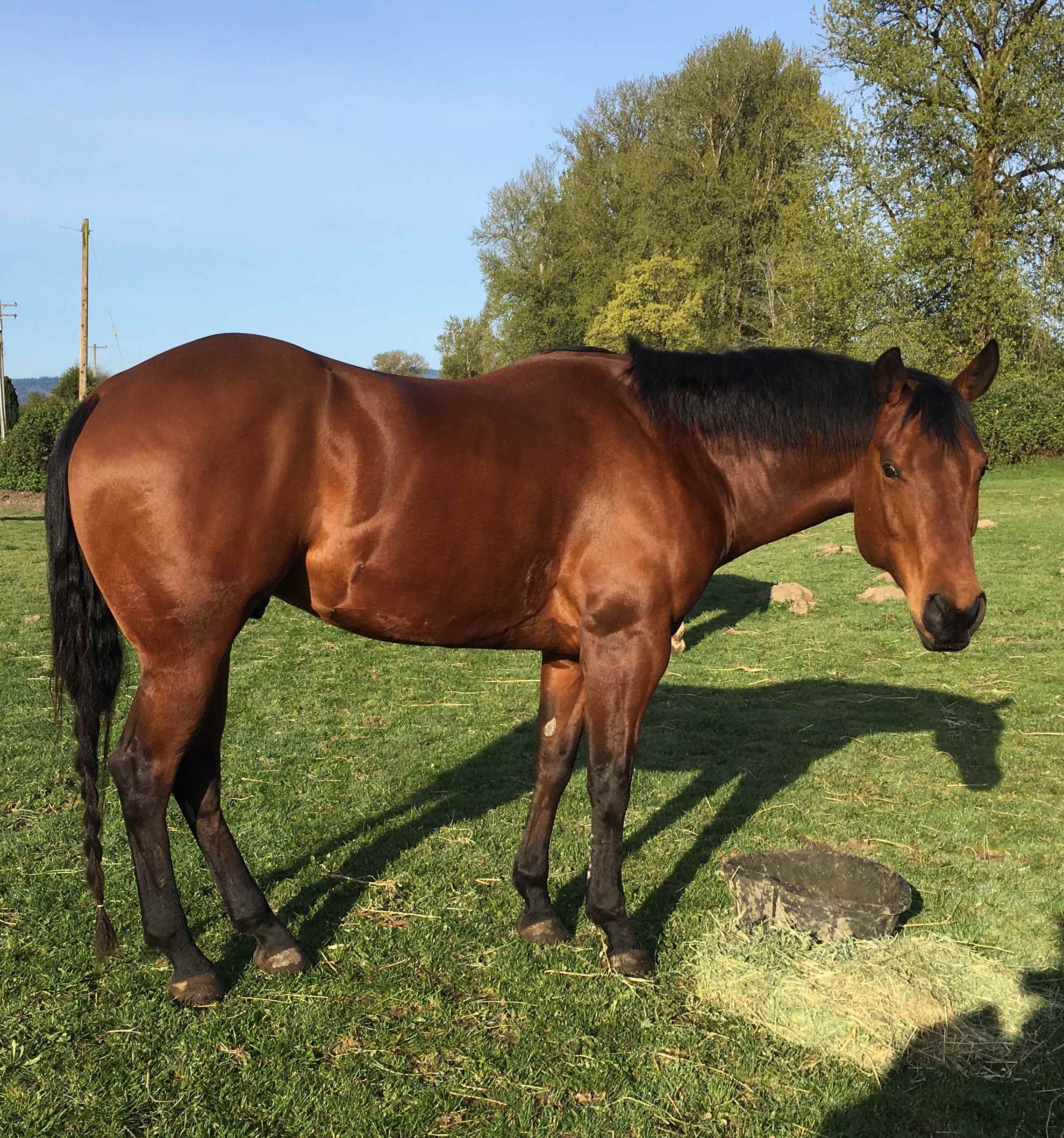 Big pretty Bay head horse 10 y/o gelding